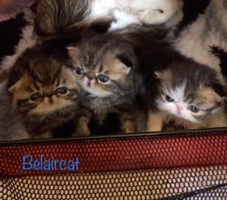 chaton,persan,Bordeaux,Belaircat,