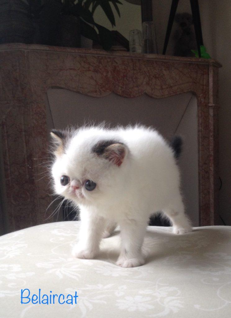 chaton,persan,Bordeaux,Belaircat